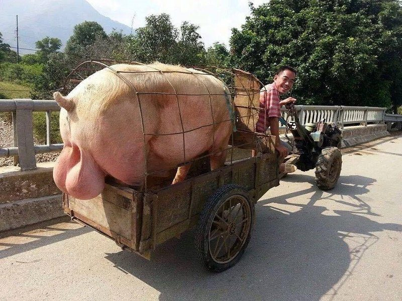 farming-courier-pig-big-balls-delivery-birthday