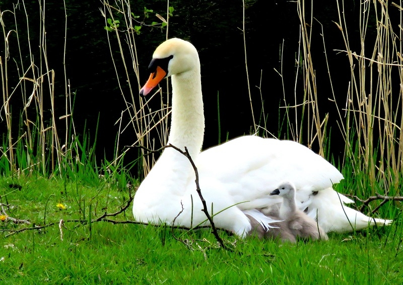 Swan & signets Charlesland Golf Club Thurs 5MAY16 Brian Keeley 3